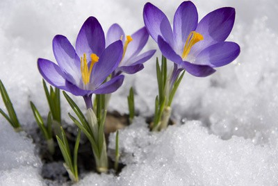 crocus-flower-in-snow